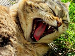 Miaou (chloe_lgn) Tags: cat chat miauler tigre tiger féroce fierce animal fauve extérieur fatigue