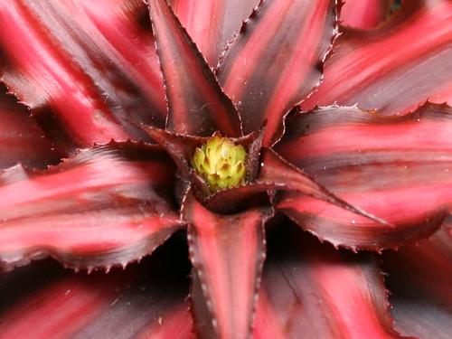 Earth Star Flower