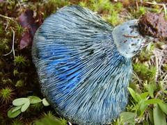 Blue Blood (Lactaria indigo) (Brujo) Tags: