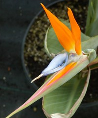 Orange Bird of Paradise (Brujo) Tags: