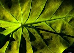Green leaf (Tonym1) Tags: green nature leaf nikon5700