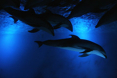 Dolphins at night (Lil [Kristen Elsby]) Tags: blue water swim mammal aquarium marine tank dolphin dolphins getty yokohama topf100  gettyimages  hakkeijima topv6666 seaparadise aquamuseum itsongcanoneos20d itsongadayattheaquarium gettyimagesonflickr