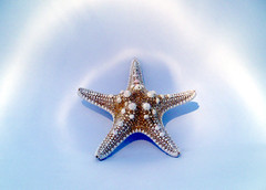 ocean colour scene #2 (macca) Tags: star starfish blue white ocean oceancolourscene detail sealife