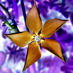 (josef.stuefer) Tags: plant flower star purple negative inverted gentian gentiana josefstuefer