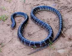 Common Krait (Captain Suresh Sharma) Tags: rescue india black nature closeup garden dangerous shiny nocturnal reptile wildlife indian tail safety naturalhistory bands killer environment snakes threat striped chandigarh slender ecological poisonous deadly ecosystem venomous coiled harmful macrolens precaution snakebite naturesbeauty loathed noctornal deadliest commonkrait snakecell snakesofindia captsureshsharma snakephotographyinindia herpetologyinindia bestsnakeimages bestsnakephotos wheretolearnsnakephotography