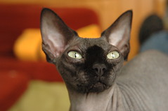 Jef (Vina the Great) Tags: jef sphynx cat pet hooligan