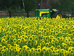 Sunflowers adoring King Tractor...! (Imapix) Tags: voyage travel tractor canada flower color nature topf25 fleur colors yellow wow landscape photography photo colorful photographie natural quebec gutentag qubec sunflowers favourites favs tracteur excellence imapix excellenceinlandscapephotography yourfavpix favpix topfavpix gatangbourque gatanbourque copyright2006gatanbourqueallrightsreserved  copyright2006gatanbourqueallrightsreserved pix50 imapixphotography gatanbourquephotography