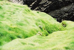 9 daughters/ 7 sisters hole, county kerry, ireland (kbot = cool) Tags: deleteme5 ireland deleteme8 cliff black deleteme deleteme2 deleteme3 deleteme4 green deleteme6 deleteme9 deleteme7 grass deleteme10 kerry ballybunion softtexture
