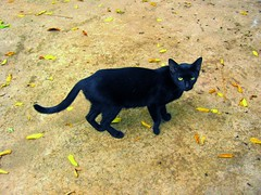 Mingkay (Farl) Tags: pet black animal cat philippines cebu mactan lapulapu cebusugbo