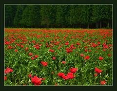 pop, pop, poppies (Cilest) Tags: 2005 flowers red green field wow austria cilest kurt topc50 august2005 meadows unfound 500plus20 poppies wildflowers quintaflower idyll flowerpix mohn twocolored flickritis august05