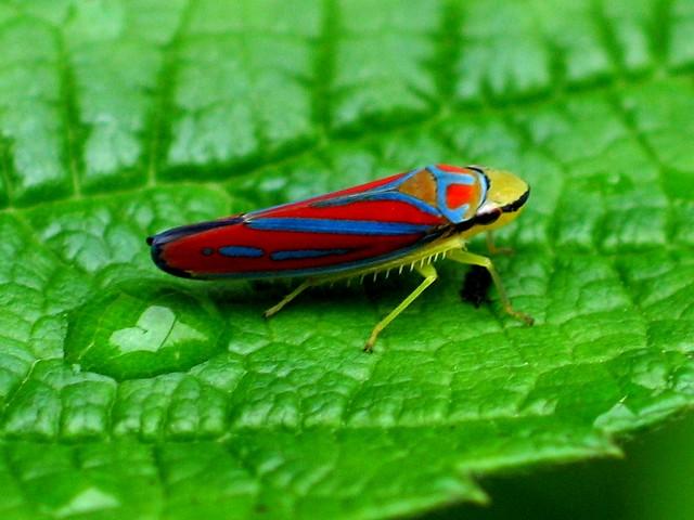 لحشرة النطاطة  Leafhopper
