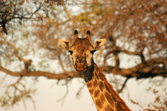 Giraffe Portrait Tree Background (newhampster) Tags: africa safari djuma vuyatela sabisands southafrica kruger allrightsreserved tomaustin wild animals giraffe portrait 20d canon dslr ilovenature