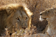 Her view - Lion couple (newhampster) Tags: africa safari djuma vuyatela sabisands southafrica kruger allrightsreserved tomaustin wild animals lion lions 20d canon dslr ilovenature