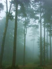 misty (algo) Tags: 2005 morning cold misty fog topv2222 forest woodland photography interestingness woods topf50 500plus nebel seasons minolta topv1111 chilterns interestingness1 august creepy topc100 topv5555 vision fv10 lonely a1 algo topv3333 topv4444 topf100 forests indistinct topv7777 rothschild top20fav urfavsvanishing brumas mysteriious haltonwood chilternforest 1500v40f