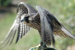 falcon (Kalense Kid) Tags: life canada bird animal living wings beak raptor falcon threat alert biodiversity biologicaldiver