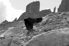 Alpine chough in symmetry in B&W (GavinBell) Tags: alps chough crow symmetry becjaune flight wing feather alpine panning mountains 0494