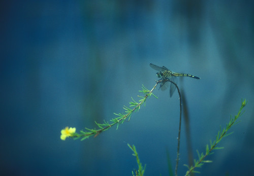 dragonfly on a field of blue by alumroot