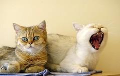 Yaaaaawn! (_Xti_) Tags: gato gatos cat cats exotic persian exoticcat exoticcats lua ling katzen gatto gatti ktzchen mo kitty furry cutecat feline felines gata gatas chat silver golden sorthair pet pets eyes kaz ket mau exoticsorthair fantastic