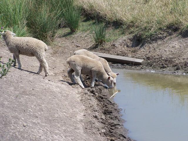 Just Three Little Lambs