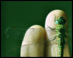 . Dragonfly .  . (3amfromkyoto) Tags: green bug insect wings hand dragonfly finger fingers 3amfromkyoto flickr:user=3amfromkyoto