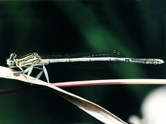 Southern White-legged Damselfly, Mas de l'Ilon, 31-May-00 (Dave Appleton) Tags: southernwhiteleggeddamselfly whiteleggeddamselfly southern whitelegged damselfly dragonfly insect insects masdelilon arles france dragonflies
