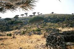 Dragon's-blood Trees (mikee84) Tags: indianocean arabia yemen dracaena socotra soqotra cinnabari dracaenacinnabari