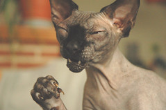 Jef's reaction to your unkind comments (Vina the Great) Tags: pet silly cat gremlin jef sphynx hairless hooligan angrycats satansfanclub