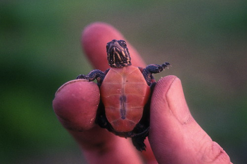 midland painted turtle hatchling