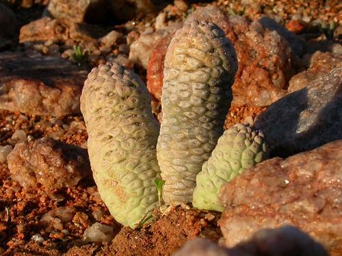 Cactiformis