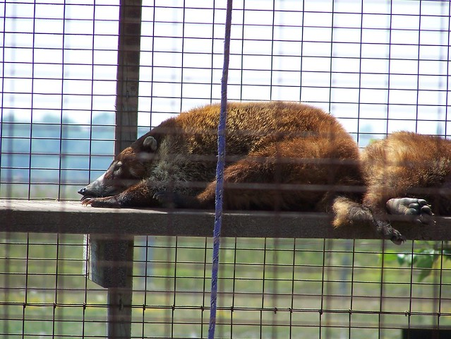 Sleepy coatimundi