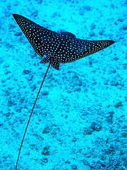 #270 spotted eagle ray (マダラトビエイ) (Nemo's great uncle) Tags: ray underwater eagle scuba sealife hawai'i ハワイ hi spotted narinari spottedeagleray マダラトビエイ aetobatus hailepo aetobatusnarinari