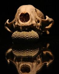 Skull and Sea Urchin - by bbum