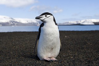 chinstrap penguin on deception island