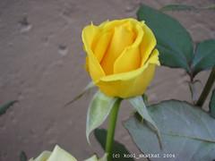 Care in CyberSpace (kool_skatkat) Tags: flower fleur rose yellow ilovenature flor blomma bunga  blume fiore blomst virg hoa bloem  kwiat  kukka  cvijet  koolskatkat youaresoooowelcome cvet gl kvtina kvetina floare   fjura