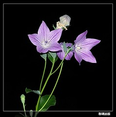 Chinese Bellflower (DigiPub) Tags: flower ilovenature herb
