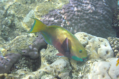Red sea steep headed parrotfish female