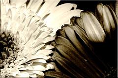 Gerbera Daisies. (Brenda-Starr) Tags: gerberadaisy gerbera january2006 daisy blackandwhite nature flower flora ef100mmf28 canon350d canon canonrebel tag1 tag2 tag3 taggedout