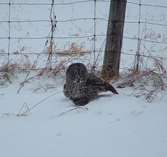 Got it! (Aegolius) Tags: greatgreyowl stixnebulosa owl ottawa