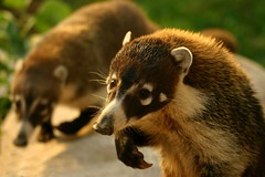 whatcha got to feed me (kwilliams) Tags: mexico wildanimal coati nasuanasua coatimundi sigma50500 sigmabigma tejones kwilliams