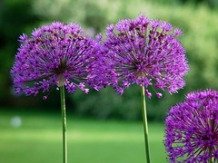 Allium blossoms (roddh) Tags: flowers green purple sony cybershot allium f707 roddh