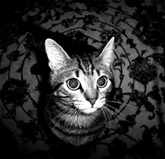 savi b and w (otrocalpe) Tags: 15fav pets cute beautiful animals cat top20catpix gatto saverio
