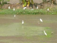 นกยางในนาที่ถอนพิษสารเคมีด้วยจุลินทรีย์แล้ว มีแหนเขียว แหนแดง และเสียงกบเขียดร้องระงม