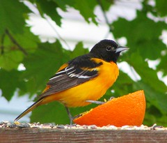 Baltimore Oriole (nature55) Tags: orange germantown nature birds outdoors wildlife aves oriole 341explorepages