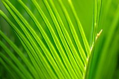 Baby V (olvwu | ) Tags: usa baby fern green nature ga georgia leaf curvy savannah cycads sagopalm musicalreferences jungpangwu oliverwu oliverjpwu cycadales cycadfamily cycasrevolutathunb ancientplant     olvwu jungpang