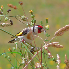 The Goldfinch loves our backyard weeds. (Brenda Anderson) Tags: newzealand bird goldfinch finch mybackyard squarecrop throughthewindow curiouskiwi cardueliscarduelis europeangoldfinch 12xzoom utataspeaks6 brendaanderson curiouskiwi:posted=2006