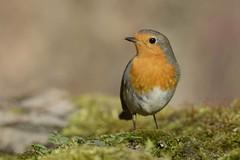 Robin (marcomes) Tags: robin d7100 nikon pettirosso birds