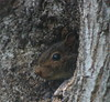 Is The Coast Clear? (mightyquinninwky) Tags: tree yard squirrel nest kentucky front urbanwildlife lexingtonky chevychase fontaineroad superbmasterpiece