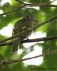 Slaty-capped Flycatcher (Michael Woodruff) Tags: bird birds ecuador birding 2007 flycatcher nwecuador milpe milpebirdsanctuary slatycappedflycatcher slatycapped leptopogon leptopogonsuperciliaris