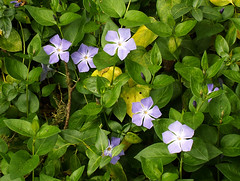 plenty of periwinkle (I, Puzzled) Tags: flowers purple fieldtrip periwinkle ipuzzled myrtle montereycounty slough wetland 2007 elkhornslough elkhorn vinca 200704 impressedbeauty 20070406 20070406179crop current20