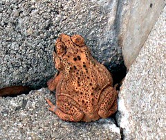 Javanese frog (Mangiwau) Tags: macro nature insect java insects frog creepy toad jawa insectes sunda insecta serangga tangerang crawlies bintaro banten wowiekazowie